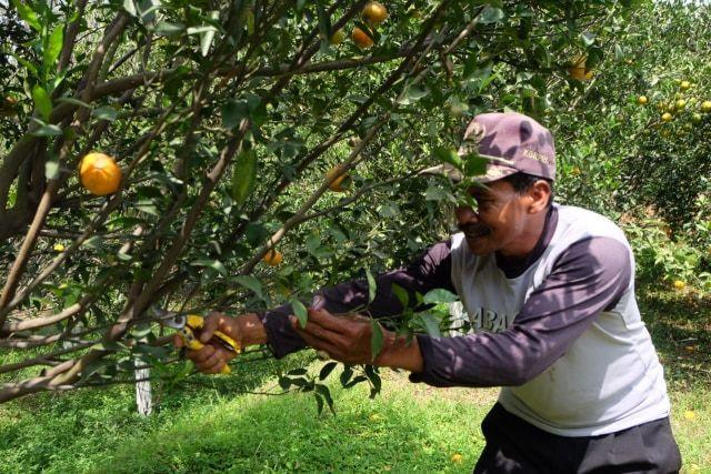 petani jeruk