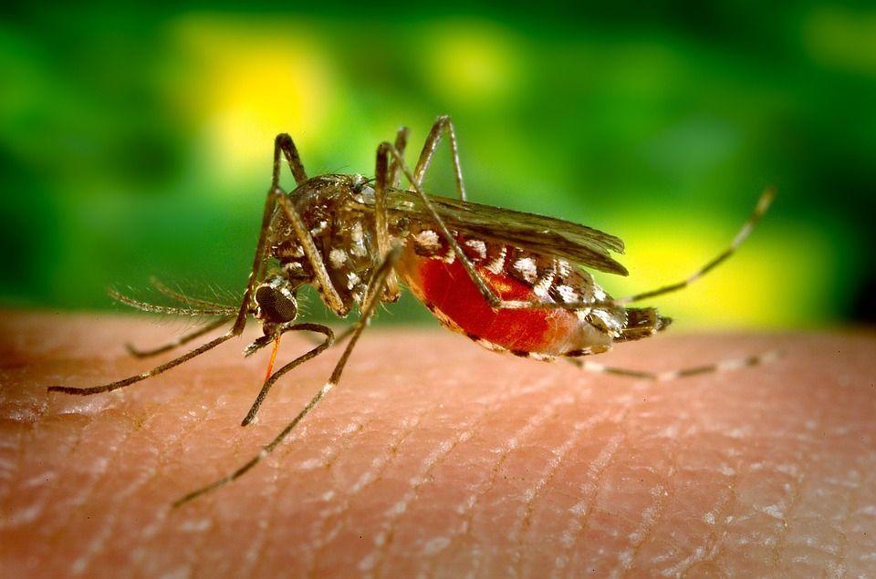 Ilustrasi nyamuk wabah demam berdarah