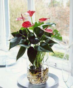 Tanaman Anthurium. (Foto: bakker.com)