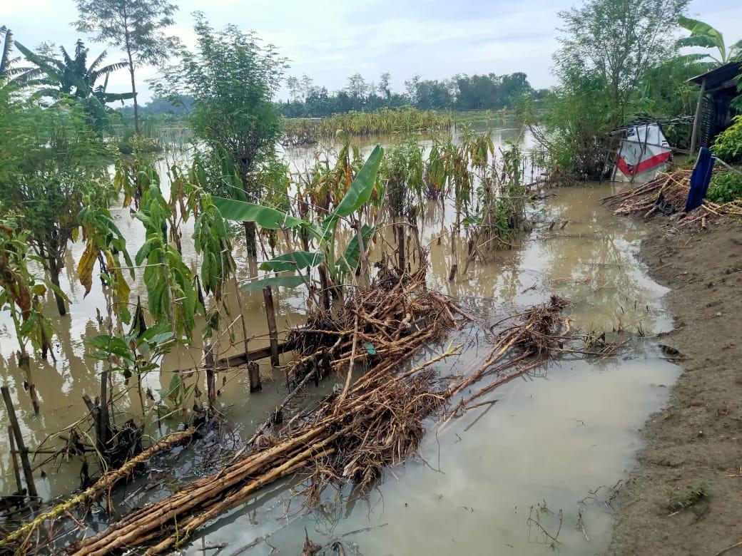 Sawah terendam banir. Lahan persawahan dan pertanian di Bojonegoro yang terendam banjir dengan ketinggian kurang lebih 30 cm. (Foto: Mila Arinda/Tugu Jatim)