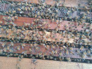 Sarang lebah madu yang juga menghasilkan propolis yang sangat bermanfaat. (Foto: Rap/Tugu Jatim)