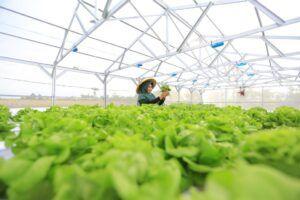 Hasil sayuran hidroponik yang bisa dimakan secara langsung. (Foto: Dokumentasi PLN/Tugu Jatim)