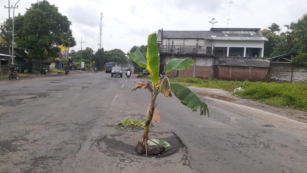 Tampak pohon pisang yang ditanami oleh warga karena geram jalan lubang tak kunjung diperbaiki. (Foto:Rochim/Tugu Jatim)