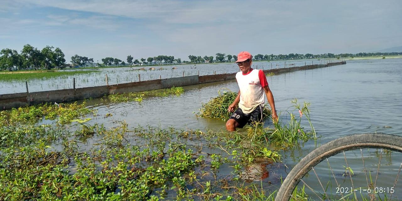 Ratusan hektare sawah di Tuban terendam banjir. (Foto: Dokumen/Camat Plumpang)