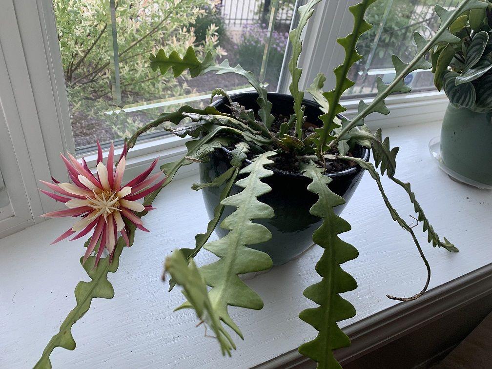 Fishbone cactus merupakan salah satu tanaman hias yang diprediski bakal banyak diminati di tahun 2021 ini. (Foto: Reddit/sugberger) tanaman hias tahun 2021