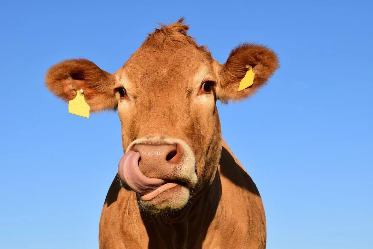 Ilustrasi hewan ternak. (Foto: Pixabay)
