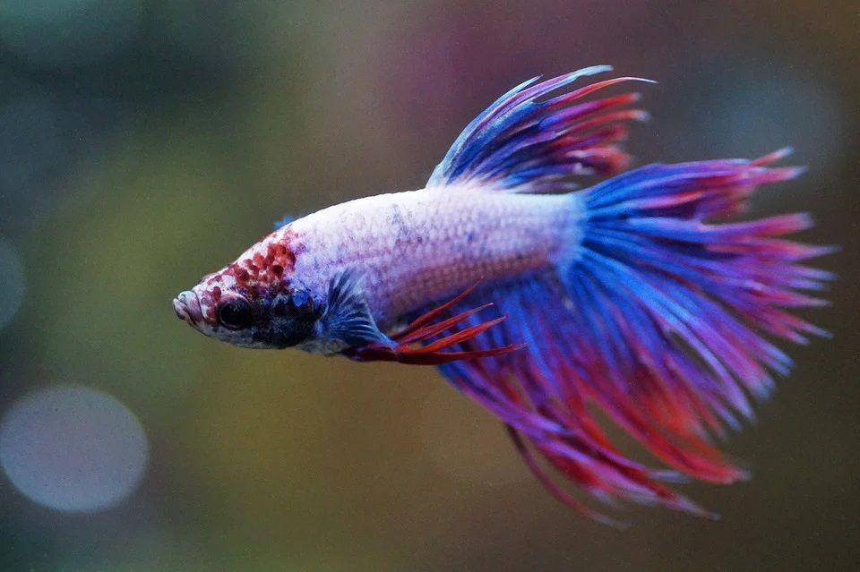 Ilustrasi ikan cupang termahal. (Foto: Pixabay)