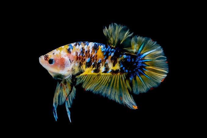 Ilustrasi ikan cupang. (Foto: Pixabay) fakta unik ikan cupang tugu jatim