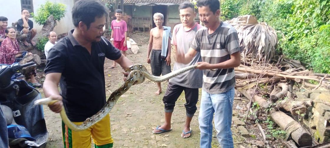 Warga Desa Sugiharjo, Kecamatan Tuban, Kabupaten Tuban saat menangkap ular piton kembang sepanjang dua meter di aliran irigasi, Jumat (12/2/2021). (Foto: Moch Abdurrochim/Tugu Jatim)