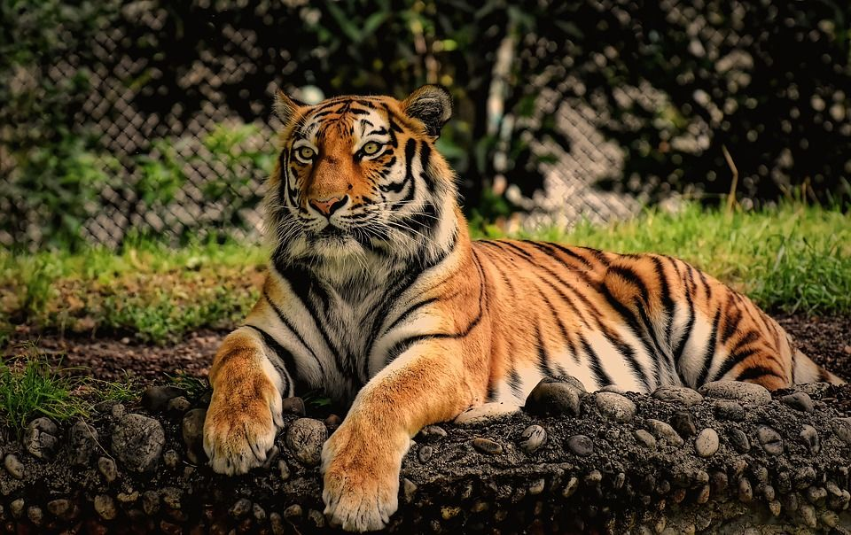 Populasi harimau meningkat. (Foto: Pixabay/Tugu Jatim)