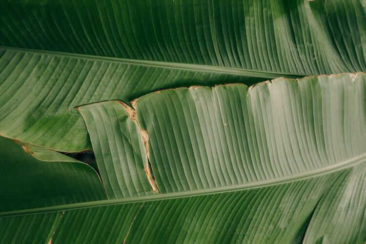 Daun pisang. (Foto: Pexels/Tugu Jatim)