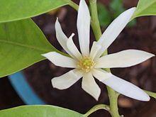 Bunga Kantil atau Cempaka Putih. (Foto: Wikipedia/Tugu Jatim)