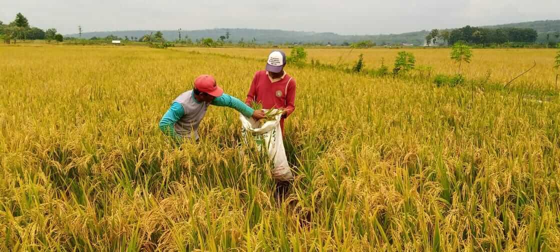 Petani di Kecamatan Montong, Kabupaten Tuban yang tengah memanen hasil tanaman padinya. (Foto: Mochamad Abdurrochim/Tugu Jatim) impor beras