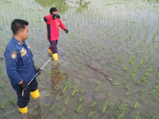 Proses evakuasi anakan buaya di area persawahan di Desa Jono, Kecamatan Temayang, Kabupaten Bojonegoro, Rabu (23/3/2021). (Foto: Dokumen/Damkar Bojonegoro) penemuan buaya