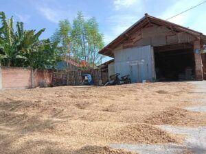 Salah satu petani asal Kediri tengah mengeringkan gabah miliknya. (Foto: NOE/Tugu Jatim)