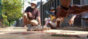 Biawak sepanjang 1,5 meter dengan berat 6 kg yang ditangkap warga. (Foto: Rochim/Tugu Jatim)