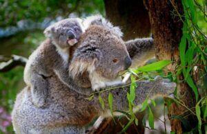 Ilustrasi koala. (Foto: Pexels/Tugu Jatim)