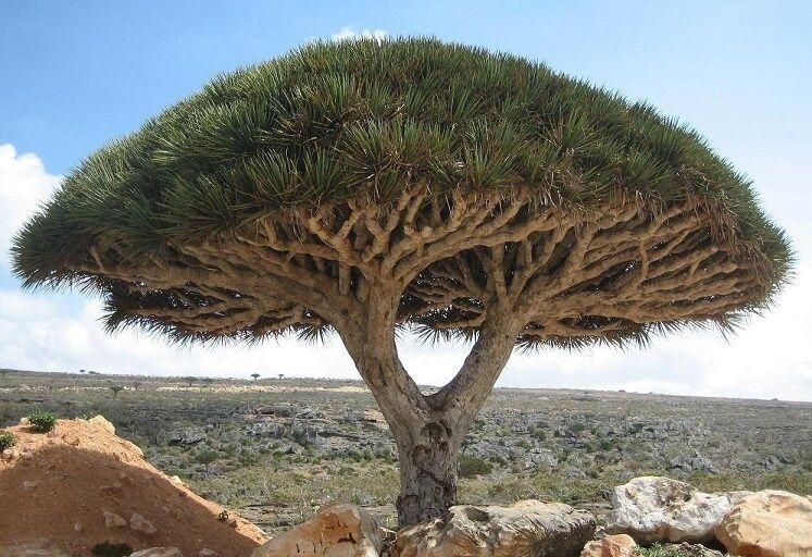 Pohon Darah Naga atau pohon dengan nama latin Dracaena cinnabari ini merupakan tanaman unik yang memiliki getah berwarna merah. (Foto: Wikipedia)