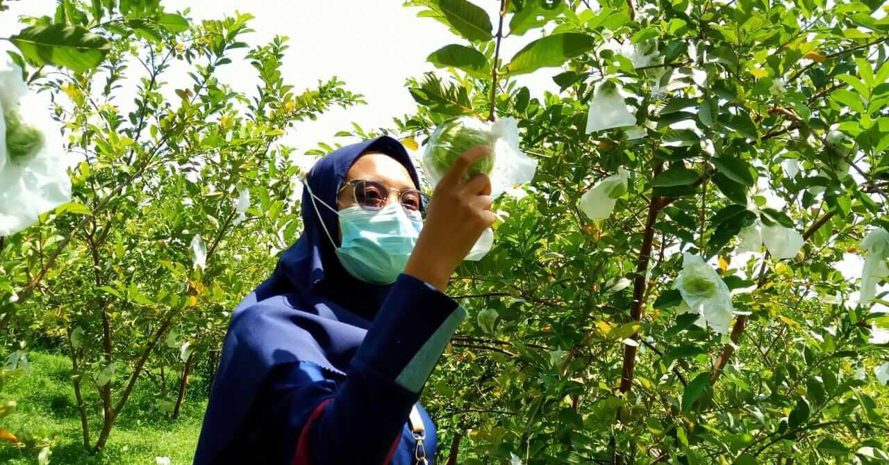 Pengunjung sedang menikmati memetik jambu dari kebunnya di Wisata Kebun Jambu Kristal di Desa Padang, Kecamatan Trucuk, Kabupaten Bojonegoro. (Foto: Mila Arinda/Tugu Jatim)