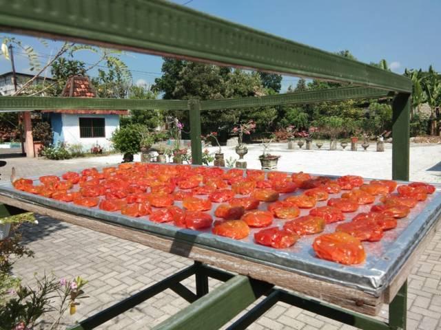Manisan tomat dijemur selama 3 hari. (Foto: Mila Arinda/Tugu Jatim)