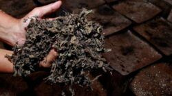 Daun janggelan atau juga dikenal sebagai daun cao yang telah dikeringkan. Daun ini merupakan bahan dasar pembuatan cincau. (Foto: Rubainto/Tugu Malang/Tugu Jatim)