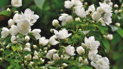 Bunga melati yang banyak memiliki khasiat dan manfaat. (Foto: Pixabay)