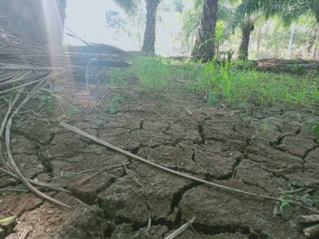 Tanah bekas persawahan yang ditanami kelapa sawit ini tampak retak-retak dan kekurangan air. (Foto: Rap/Tugu Jatim)