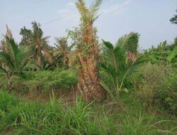 Mantan Petani Sawit di Desa Tumpakrejo Mulai Beralih ke Tanaman Kelapa Hibrida hingga Sayuran