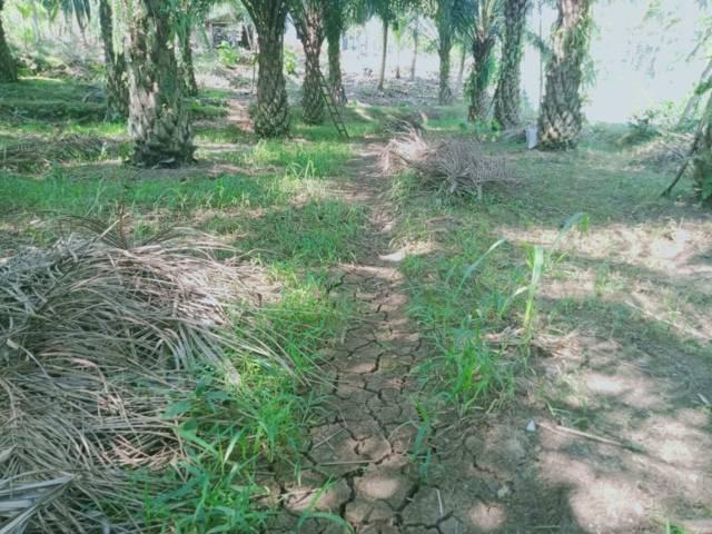 Hamparan tanah kering yang ditanami sawit di Kabupaten Malang.(Foto: Rap/Tugu Jatim)