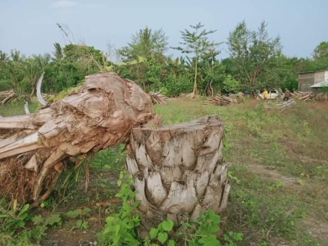 Sawit yang sudah ditebang oleh petani.(Foto: Rap/Tugu Jatim)