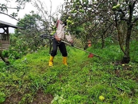 Petani merawat pohon apel di Kota Batu. (Foto: Sholeh/Tugu Jatim)