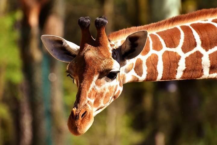 Jerapah, binatang yang memiliki kaki depan lebih panjang dibandingkan kaki belakang. (Foto: Pixabay)