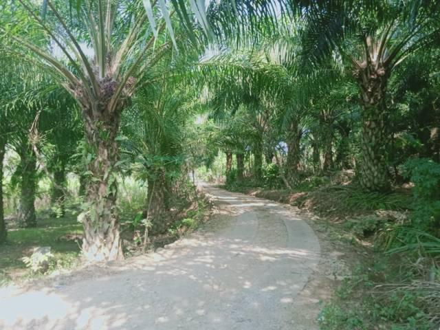 Suasana jalanan di areal perkebunan kelapa sawit yang tumbuh subur namun liar di kawasan Malang Selatan. (Foto: Rizal Adhi/Tugu Jatim)