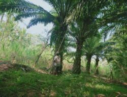 Menjelajahi Perkebunan Sawit di Malang Selatan: Tumbuh Subur dan Sulit Ditebas