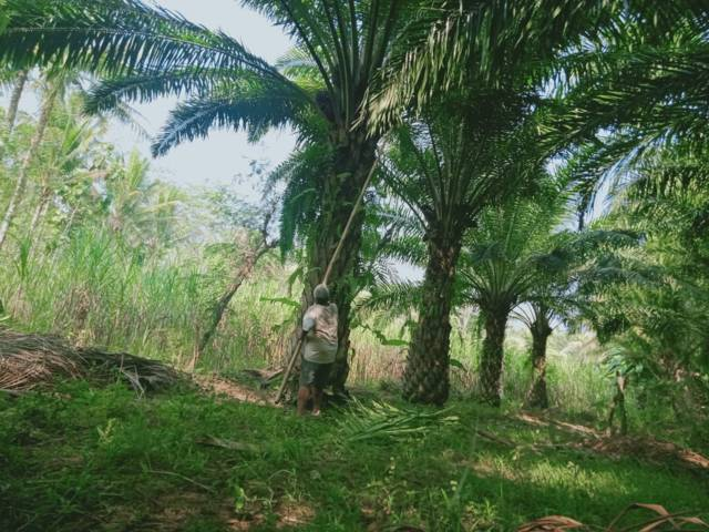Seorang petani menunjukkan beberapa tumbuhan kelapa sawit yang tumbuh subur namun liar di kawasan Malang Selatan. (Foto: Rizal Adhi/Tugu Jatim)