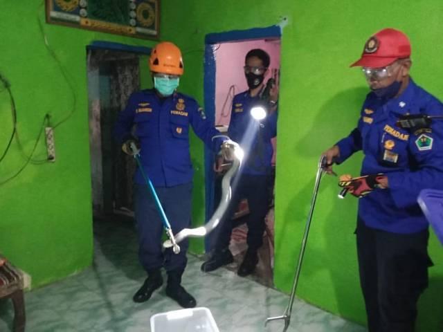 Proses evakuasi ular cobra di Mergosono Malang yang sempat menyembur mata 2 warga, Selasa (15/06/2021). (Foto:Damkar Kota Malang/Tugu Jatim)