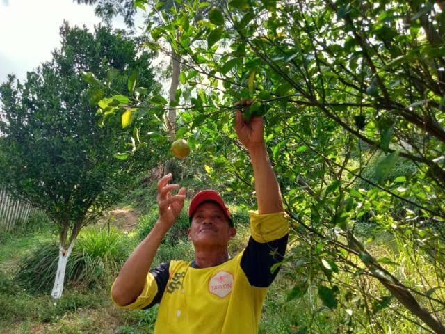 Ilustrasi petani jeruk Selorejo, Kabupaten Malang. (Foto: Rap/Tugu Jatim)