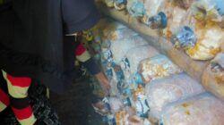 Jamur tiram hasil budidaya Diny Anggraeni, perempuan asal Bojonetoro yang bisa meraup omzet hingga Rp 7 juta sekali panen. (Foto: Mila Arinda/Tugu Jatim)