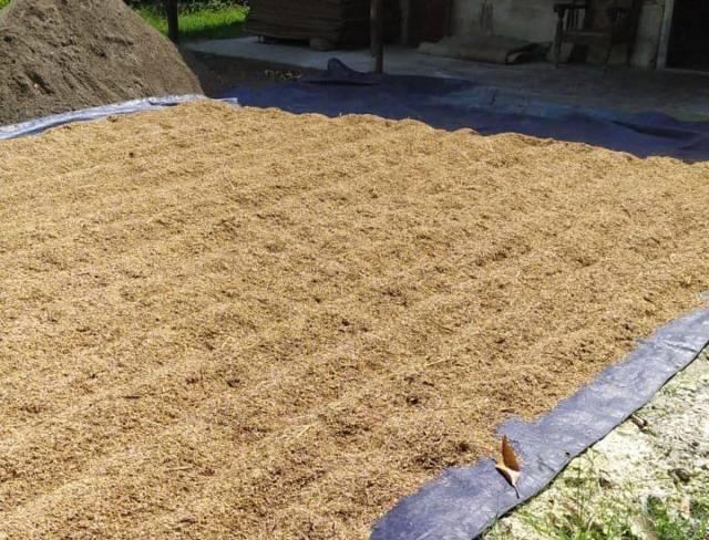 Gabah yang tengah dijemur warga Bojonegoro. Harga gabah di Bojonegoro mengalami penurunan akibat musim hujan yang mengguyur beberapa wilayah akhir-akhir ini, sehingga menyebabkan kualitas gabah penurun hingga gagal panen. (Foto: Mila Arinda/Tugu Jatim)