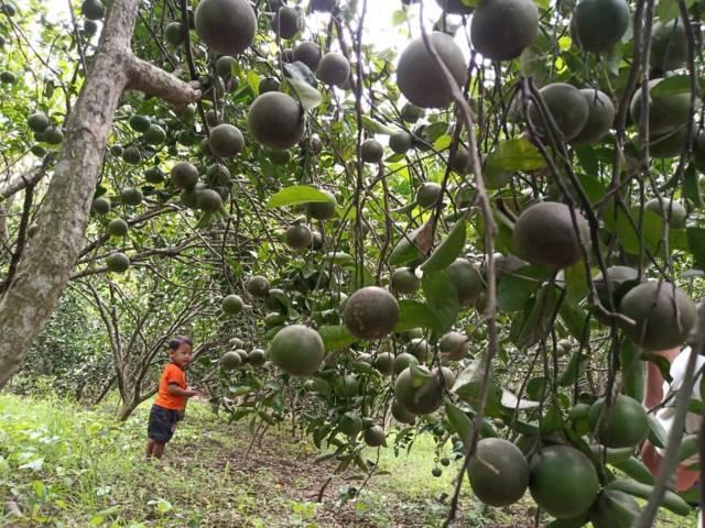 Buah jeruk tampak bergerombol di kebun buah yang berada di Desa Sumberejo, Kecamatan Trucuk, Kabupaten Bojonegoro, Sabtu (03/07/2021). (Foto: Mila Arinda/Tugu Jatim)