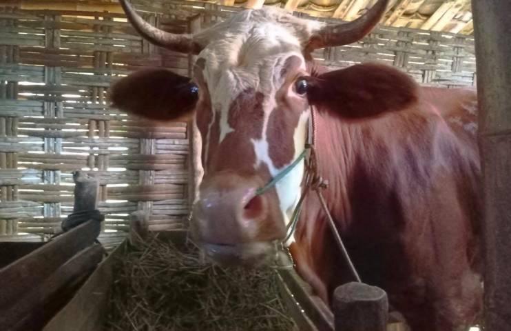 Salah satu sapi milik warga Desa Selorejo, Kecamatan Baureno, Kabupaten Bojonegoro. (Foto: Mila Arinda/Tugu Jatim)