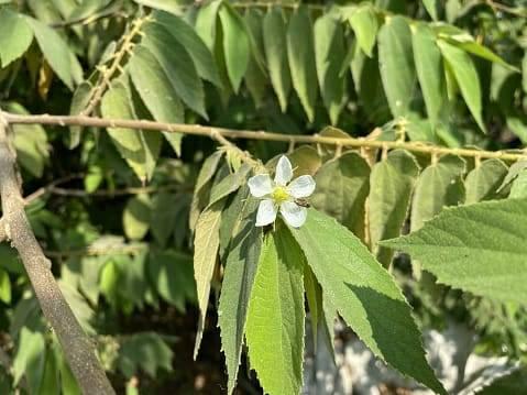 Daun kersen yang bisa dijadikan minuman dari tanaman herbal untuk meredakan penyakit diabetes hingga kanker. (Foto: Pixabay) tugu jatim