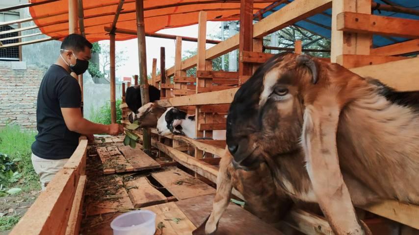 Beni Satya (31), salah seorang penjual kambing kurban di Malang tetap berjualan meski peminatnya mulai melesu di masa PPKM Darurat. (Foto: M Ulul Azmy/Tugu Malang/Tugu Jatim)