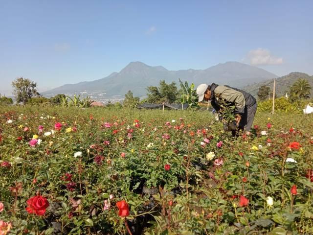 Petani bunga di Kota Batu yang mengaku kesulitan distribusi selama masa PPKM Darurat (PPKM Level 4) karena terkendala mobilitas. (Foto: M Sholeh/Tugu Malang/Tugu Jatim)