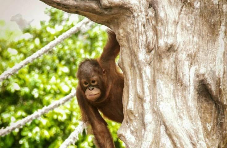 Seekor orang utan, koleksi satwa di Jatim Park di Batu Secret Zoo. (Foto:JTP Group/Tugu Jatim)