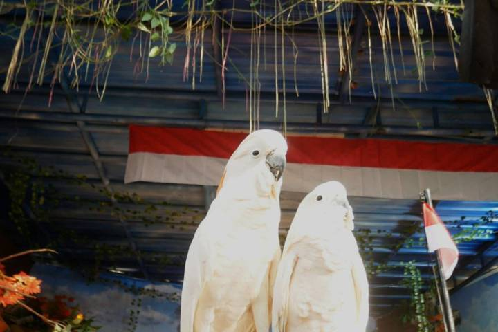 Burung kakatua di Eco Green Park, Kota Batu, yang khidmat saat mengikuti upacara bendera Merah Putih, Senin (17/08/2021). (Foto: Jatim Park Group/Tugu Jatim)