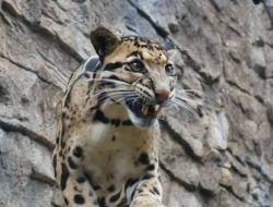 Melihat Macan Dahan Penghuni Baru Batu Secret Zoo