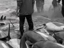 Pembantaian 1.400 Lebih Lumba-Lumba di Kepulauan Faroe
