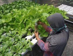 Pemkot Kediri Wujudkan Urban Farming Melalui Green House