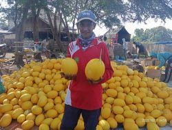 Suntari, Petani asal Tuban Sukses Budi Daya Melon Golden hingga Raup Rp 250 Juta Per Panen